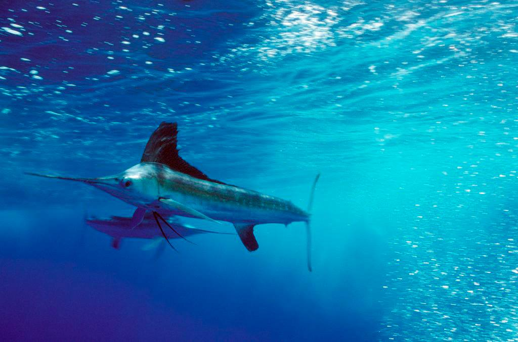 2020 White Marlin Shootout