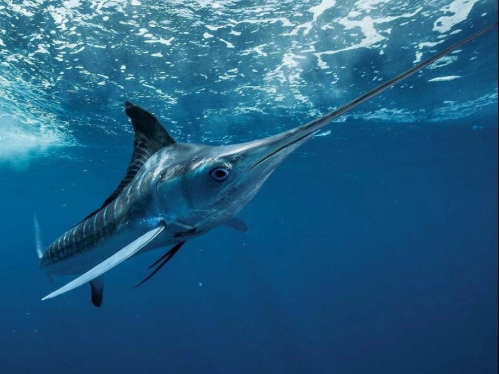 White Marlin