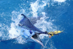 Bisbee's Black & Blue Sportingfishing tournament in Cabo